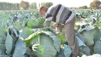 Dev lahanaların hasadı başladı